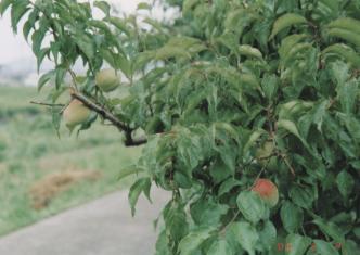 梅って、作るものによって青梅、熟し梅どっち?